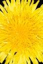 Free Dandelion Flower Stock Photos - 5137743