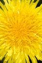 Free Dandelion Flower Royalty Free Stock Photo - 5137745