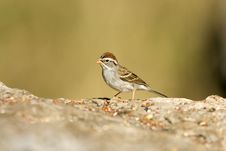 Free Chipping Sparrow Feeding Royalty Free Stock Photo - 5130095