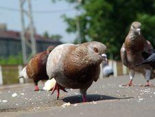 Free Pigeon Royalty Free Stock Image - 5130226