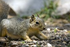 Free Gray Squirrel Foraging Stock Photos - 5130233