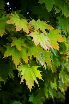Free Fresh Young Spring Maple Leaves Stock Photos - 5130313