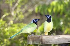 Free Green Jays At The Feeder Royalty Free Stock Photos - 5130318