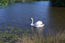 Free Swan In Lake With High Grass Royalty Free Stock Photo - 5130325