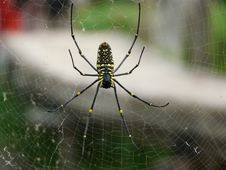 Free Big Yellow Spider Royalty Free Stock Image - 5130366