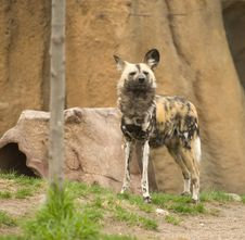 Free Wild African Dog Stock Photo - 5130420