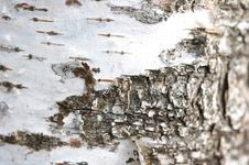 Free White Birch Texture Stock Photography - 5130532