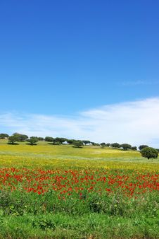 Free Poppies  In Colored Field. Royalty Free Stock Photography - 5130657