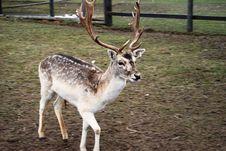 Free Cute North Deer Stock Photos - 5130873