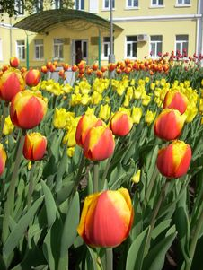 Free Tulips Royalty Free Stock Photography - 5130897