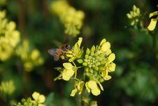 Free Bee On A Field Flower Stock Photo - 5130960