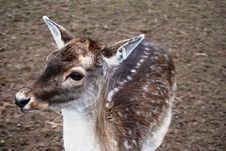 Free North Baby Deer Royalty Free Stock Images - 5130999