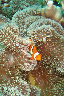 Nemo The Clownfish Stock Photos