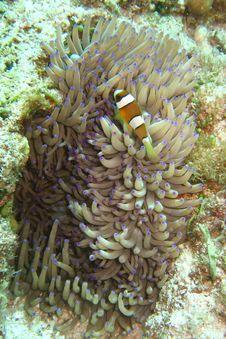 Free Nemo The Clownfish Stock Photo - 5131080