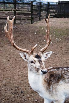 Free North Deer Portrait Royalty Free Stock Photo - 5131135