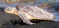 Sleeping Sea Turtle Stock Images