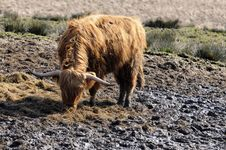 Free Highland Cattle Royalty Free Stock Images - 5133219
