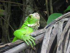 Free Green Iguana Stock Photo - 5133340