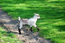 Free Kid Goat Royalty Free Stock Image - 5134166