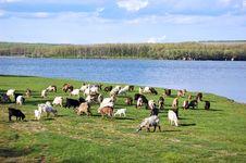 Free Goats Royalty Free Stock Photo - 5134185