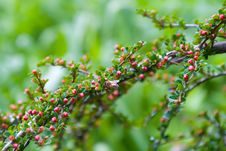 Free Bee On Miniature Rosemary Blossoms Stock Photography - 5134592