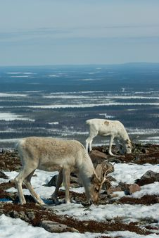 Free Reindeers In The Mountain Stock Image - 5134821