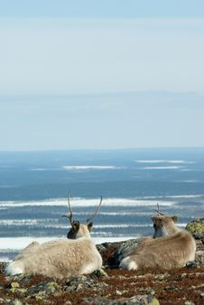Free Young Reindeers Stock Photos - 5134863