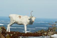Free One-horned Reindeer Royalty Free Stock Photo - 5134875