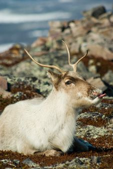 Free Reindeer Showing Tongue Stock Photos - 5134893