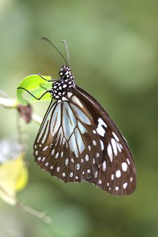 Free Butterfly In Bohol Stock Photography - 5135042