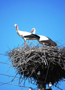 Stork Couple Royalty Free Stock Photography