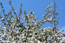 Free Blooming Apple-tree Royalty Free Stock Photo - 5135815