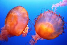 Free Jellyfish Royalty Free Stock Images - 5136169