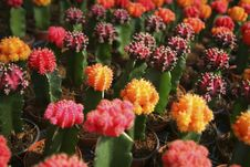 Free Many Cactuses Royalty Free Stock Photo - 5136235