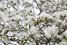 Free Blossoms Of Magnolia Tree Royalty Free Stock Image - 5136276