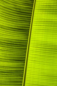 Free Giant Leaf Veins Stock Image - 5136411
