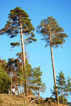 Free Pine Trees Forest Stock Image - 5136991