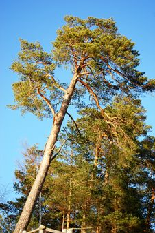 Free Pine Trees Wood Royalty Free Stock Photography - 5136997