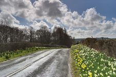 Free Backlit Daffodils On Road Stock Photography - 5137162