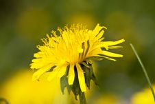 Free Dandelion Flower Royalty Free Stock Photography - 5137247