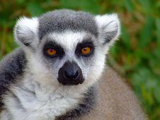 Free Lemur Stock Image - 5137291