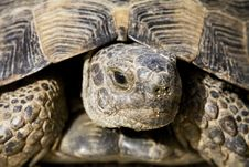 Free Spur-thighed Tortoise Royalty Free Stock Image - 5137316