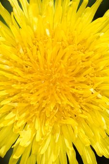 Free Dandelion Flower Royalty Free Stock Photo - 5137745