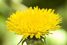 Free Dandelion Flower Stock Photo - 5137780