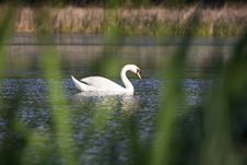 Swan In The Water Royalty Free Stock Images