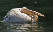 Free Pelican Stock Photo - 5138270