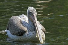 Free Pelican Stock Photos - 5138353