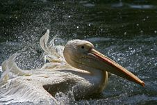 Free Pelican Royalty Free Stock Image - 5138356