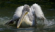 Free Pelican Royalty Free Stock Photography - 5138367