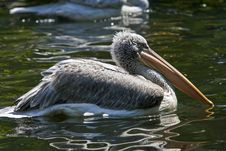 Free Pelican Stock Images - 5138374